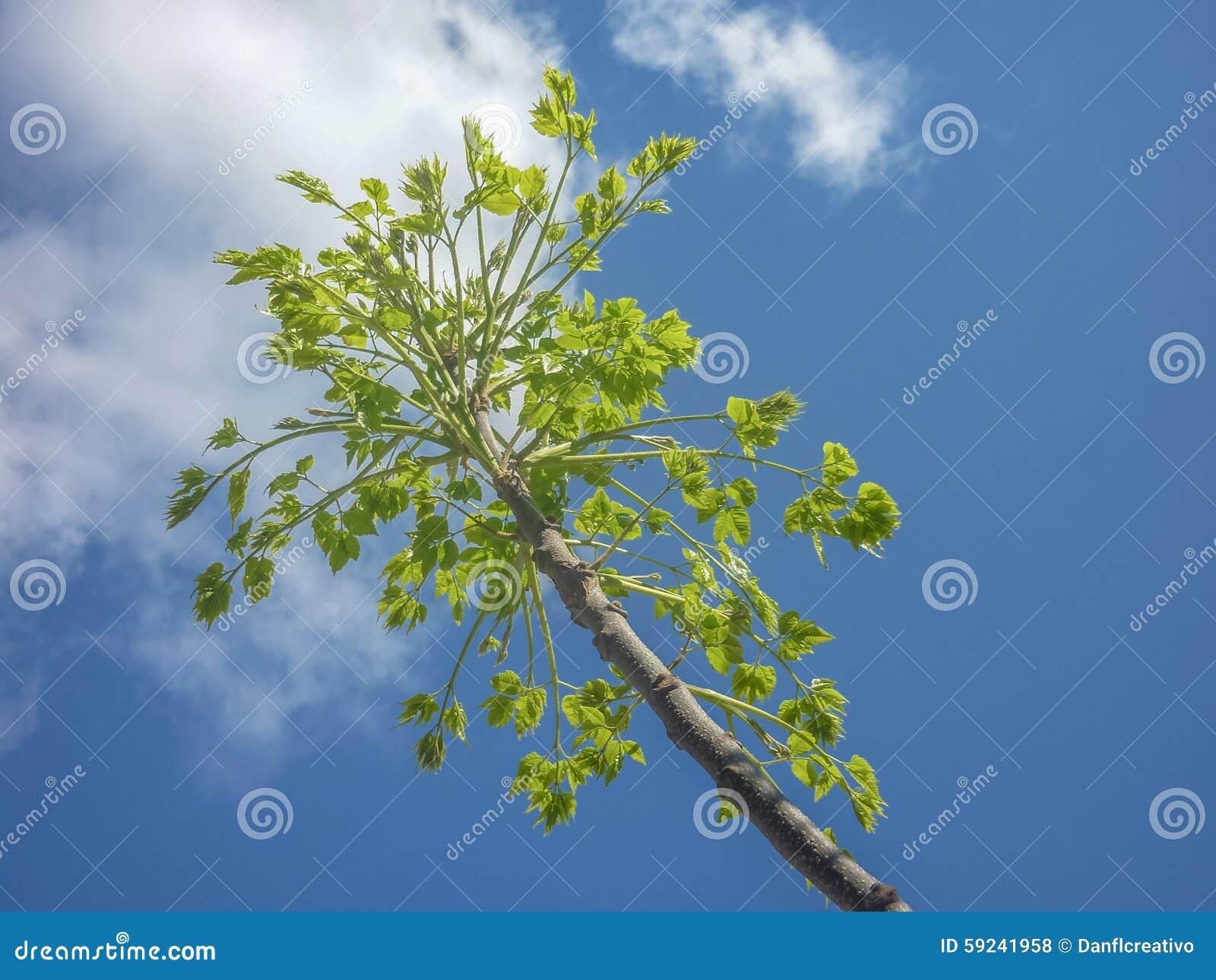 branches et feuilles d 39 arbre contre le ciel bleu photo stock image du beau trunk 59241958. Black Bedroom Furniture Sets. Home Design Ideas