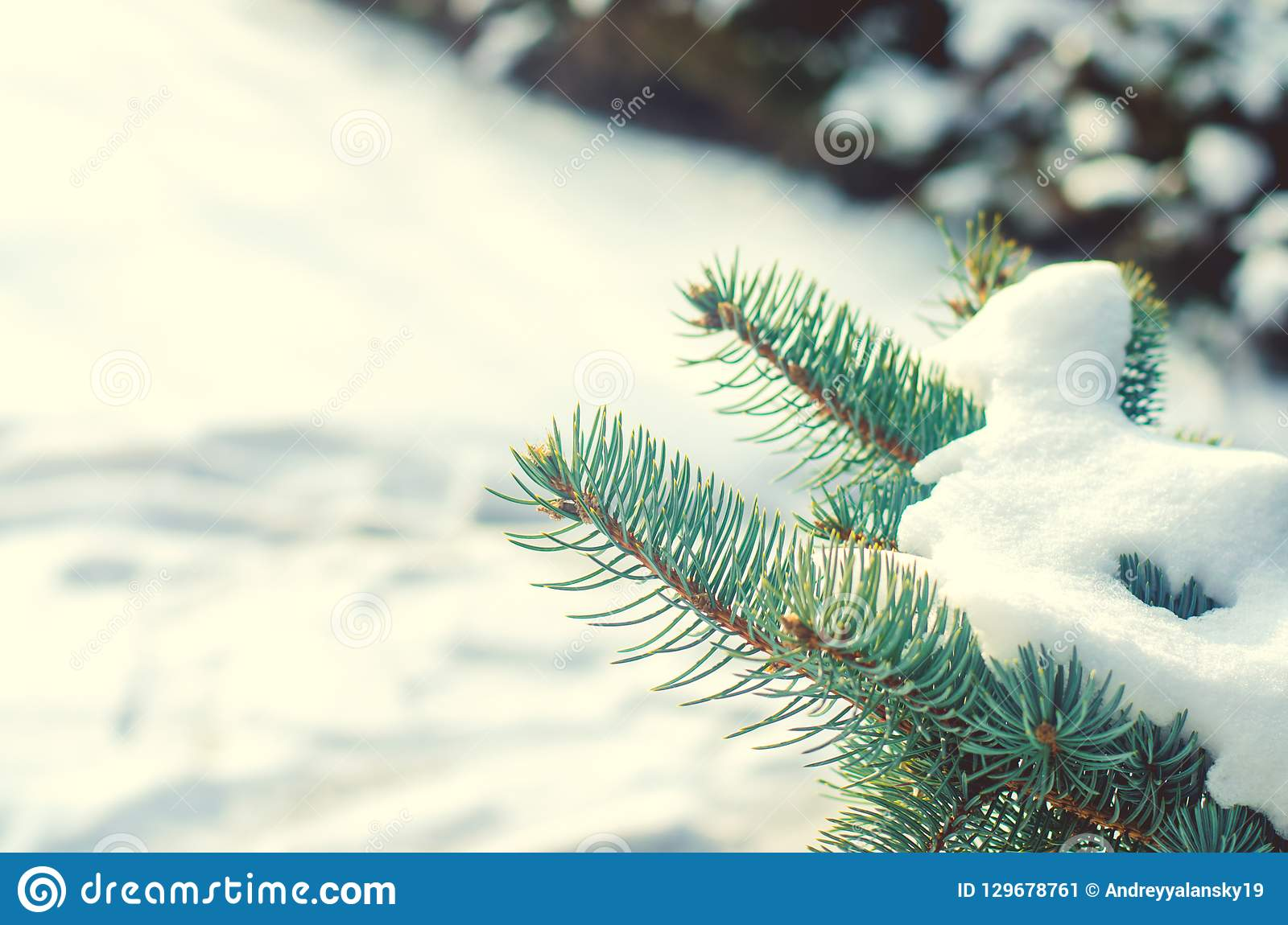 An Evergreen Christmas.Branches Of An Evergreen Christmas Tree In The Snow In A