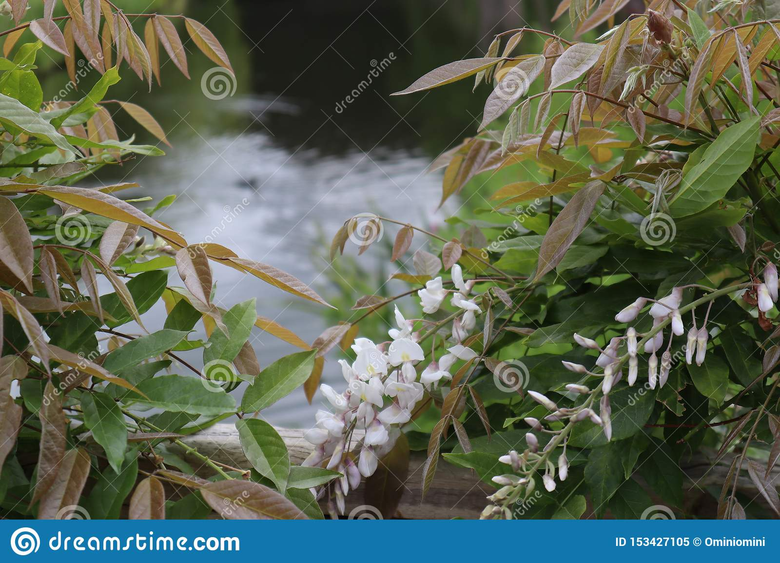 View of the pond through the bush of the flowering White Wisteria