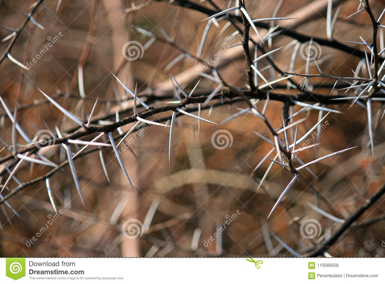 BRANCHES WITH LONG WHITE SHARP THORNS