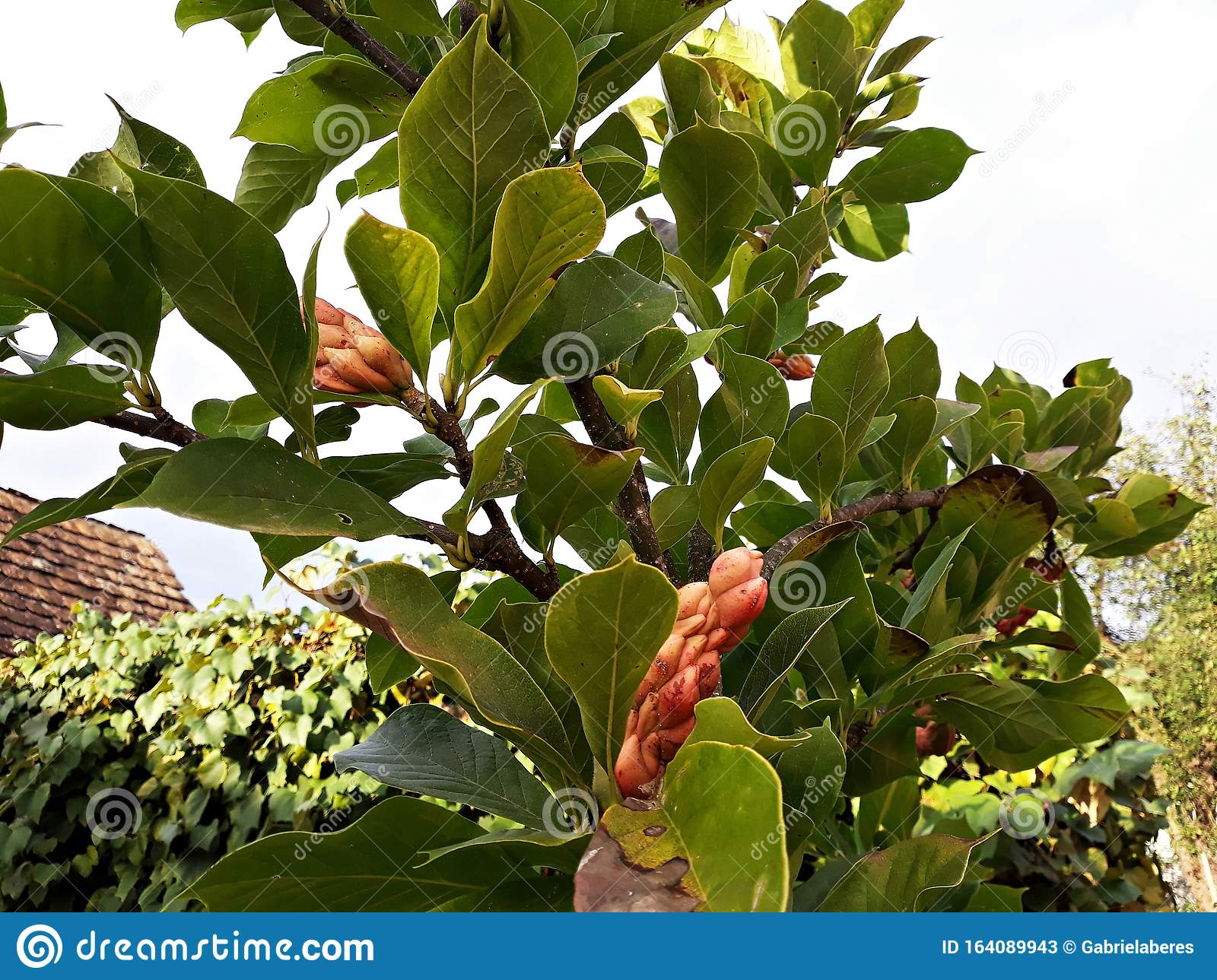 Branches Of Magnolia Tree With Seed Pods Stock Image Image Of