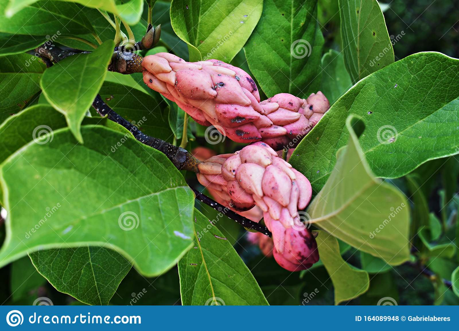 Branches Of Magnolia Tree With Seed Pods Stock Photo Image Of