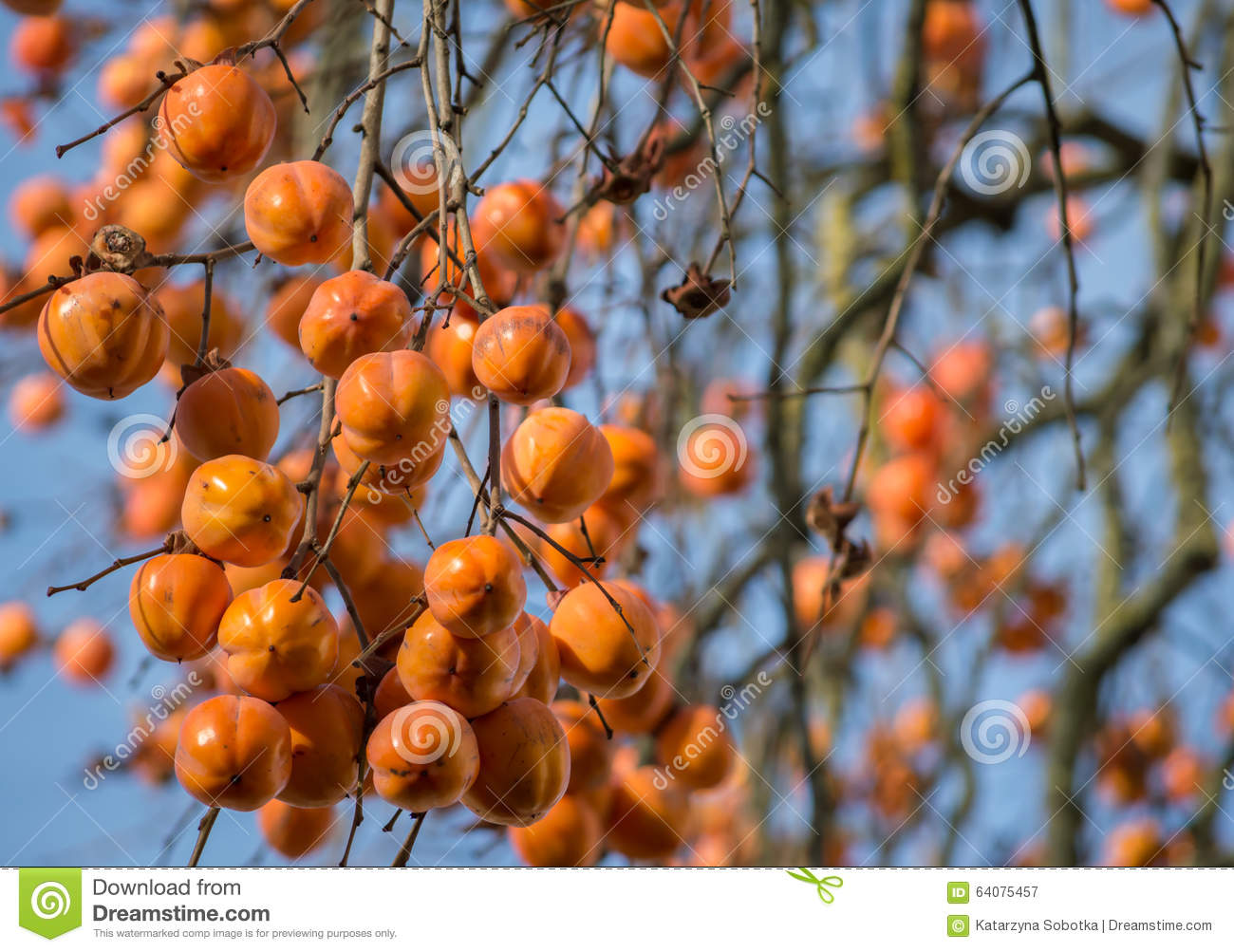 branches of persimmon tree diospyros kaki full of fruit stock image image of autumn