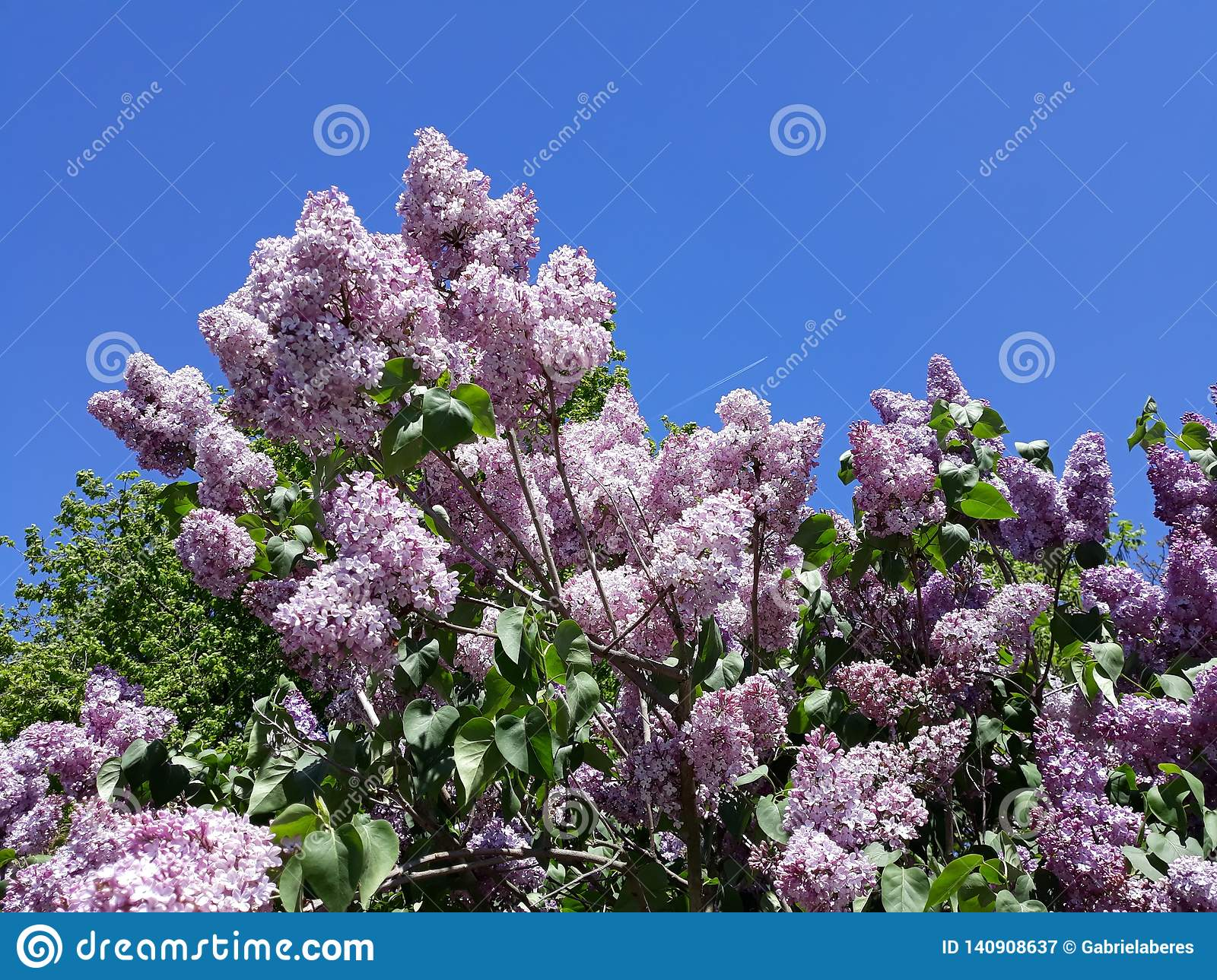 Branches Of Purple Lilac Flowers Against Blue Sky Stock Image