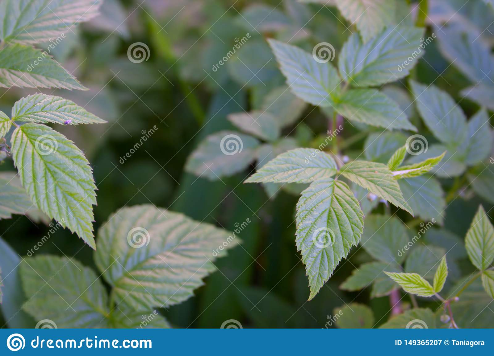 Branches of raspberry without berries. Spring. Green background. Sunny grass green day.