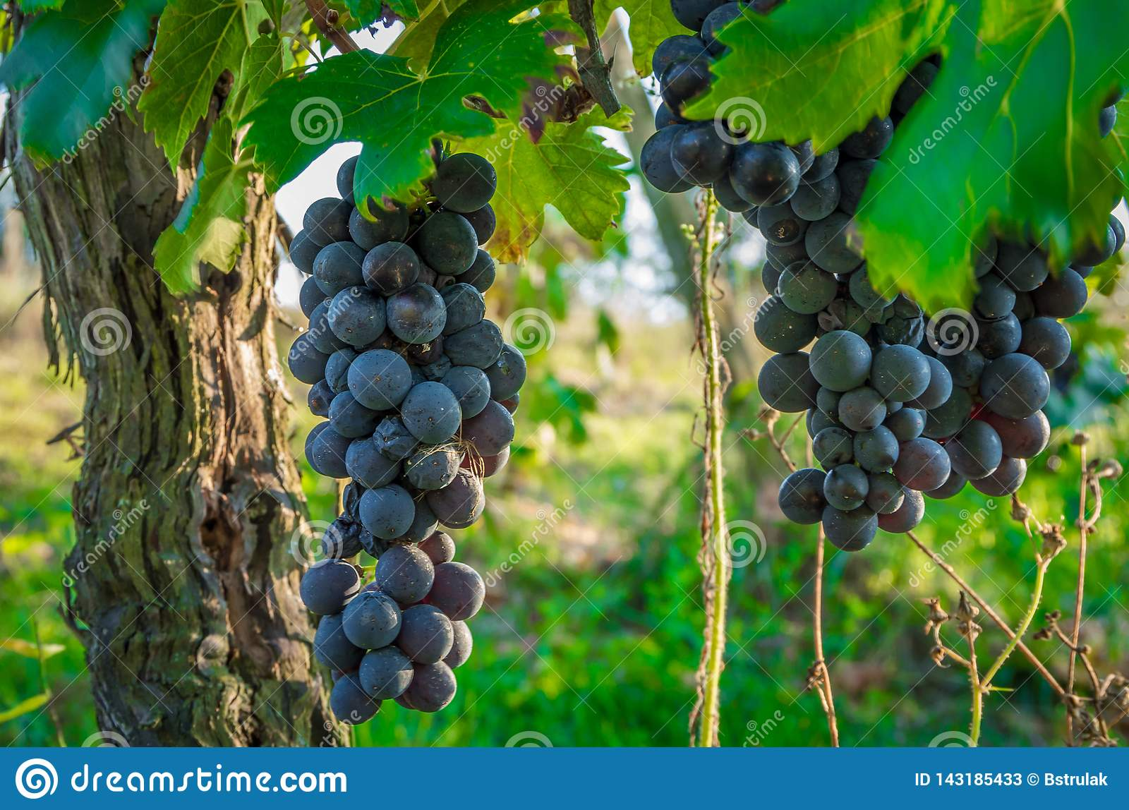 Branches of red wine grapes growing in Italian fields. Close up view of fresh red wine grape in Italy. Vineyard view with big red