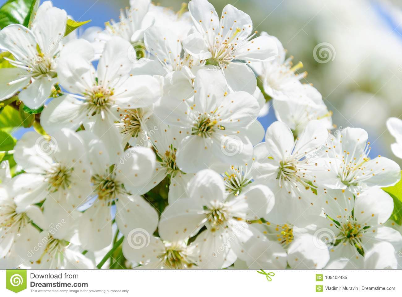 Branches of snow white flowers of cherry blossoms stock image branches of bicycle colored flowers blooming cherry on a spring warm day mightylinksfo