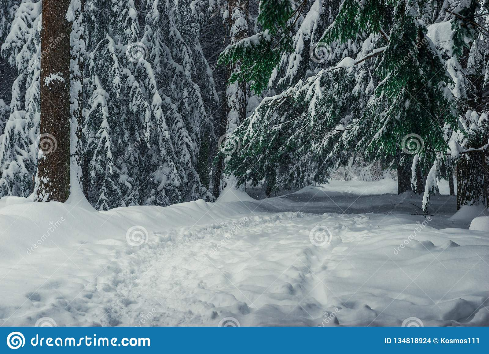 Branches of tall fir trees in the snow