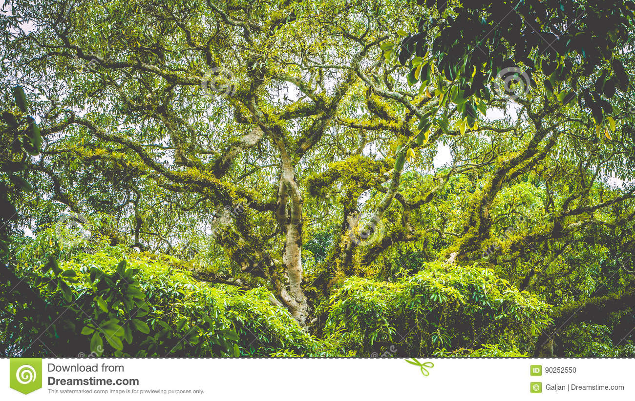 Branches Of A Top Huge Ancient Banyan Tree Covered By Moos In Bali