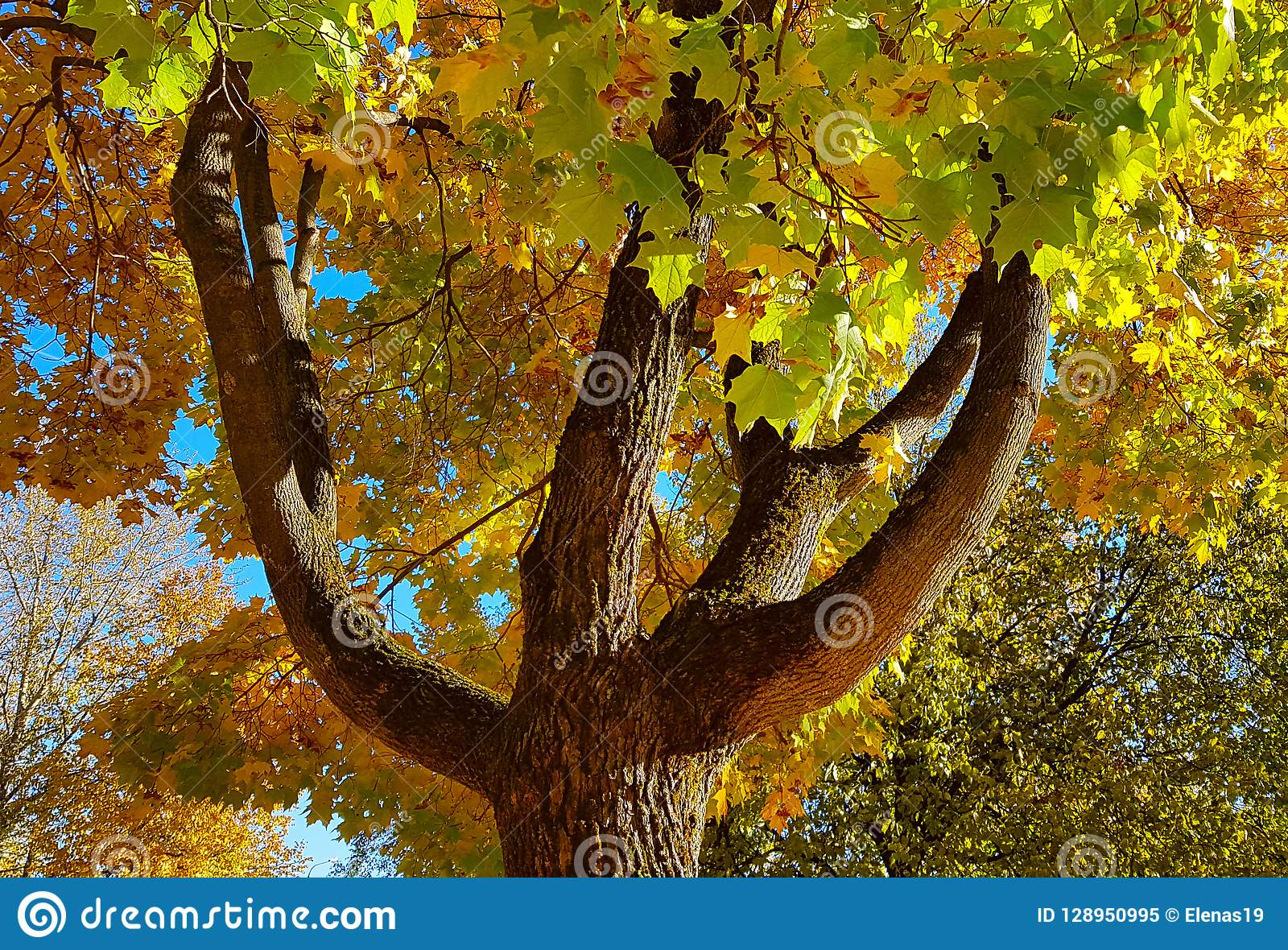 Branches and trunk with bright yellow and green leaves of autumn maple tree against the blue sky background. Bottom view