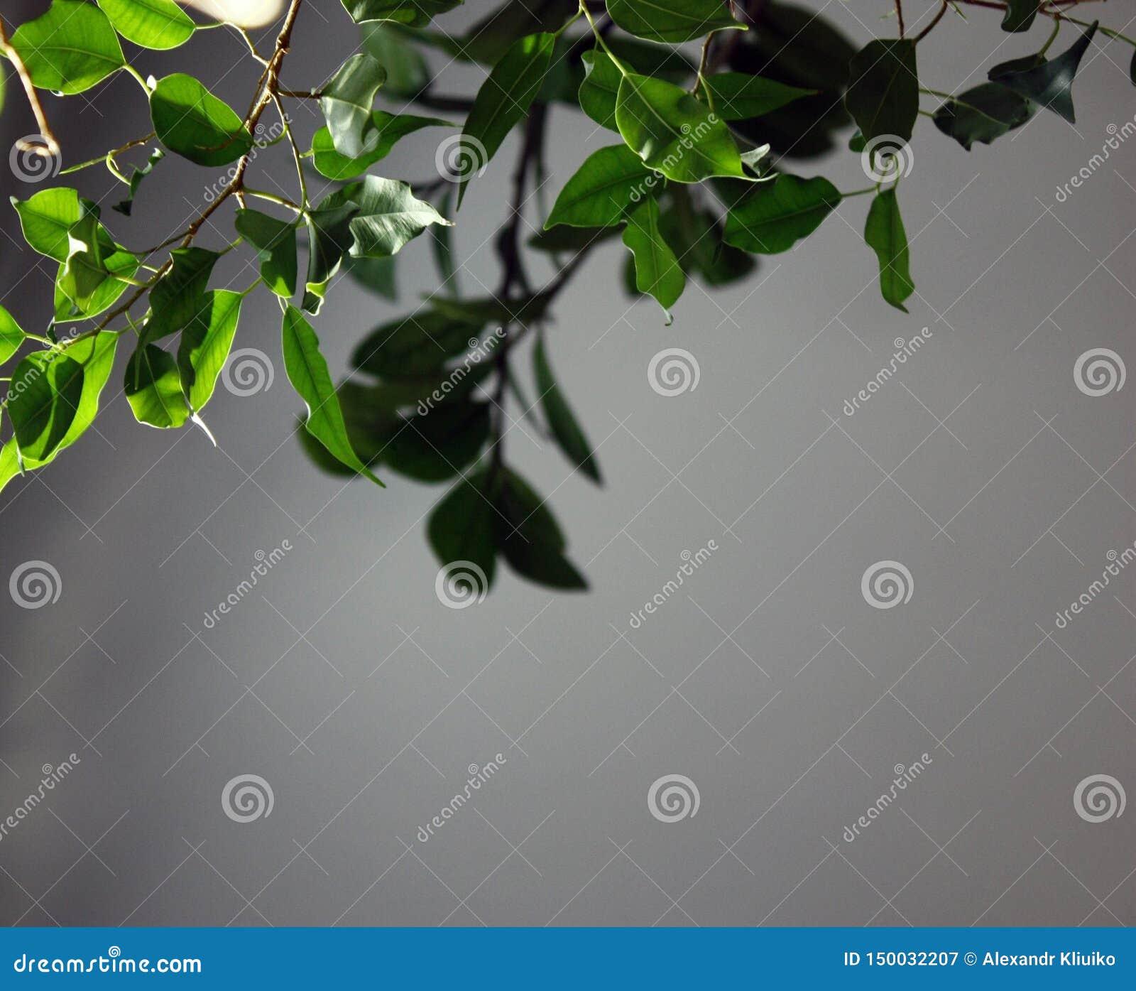 Branches vertes avec des feuilles à la lumière du soleil sur un fond gris, plan rapproché