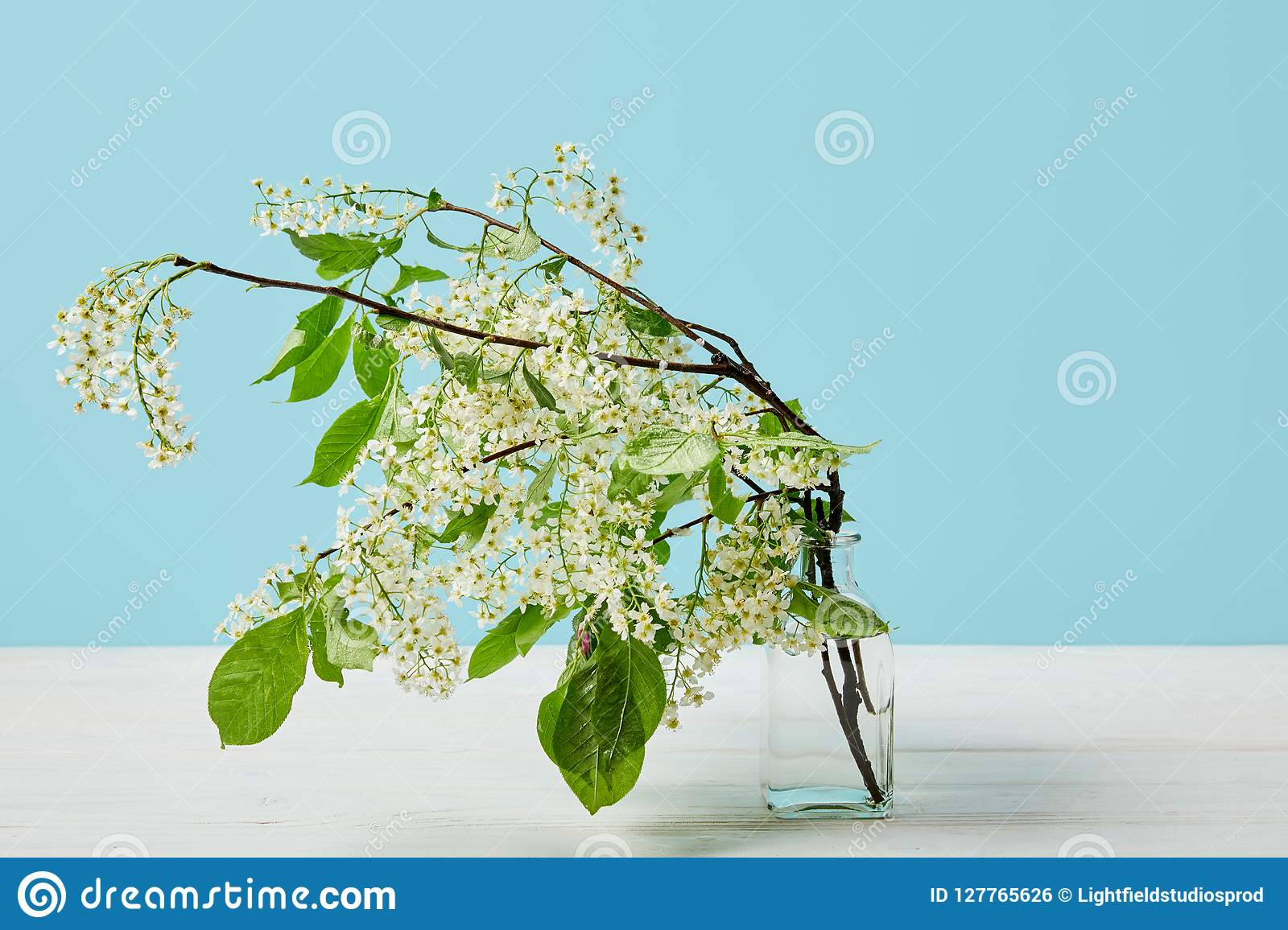 Branches Of White Bird Cherry Blossom In Glass Isolated On