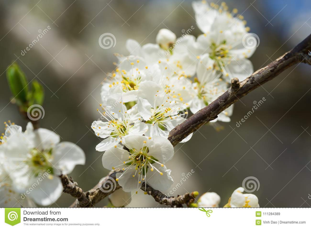 Branches Of White Plum Flowers In Spring Stock Image Image Of