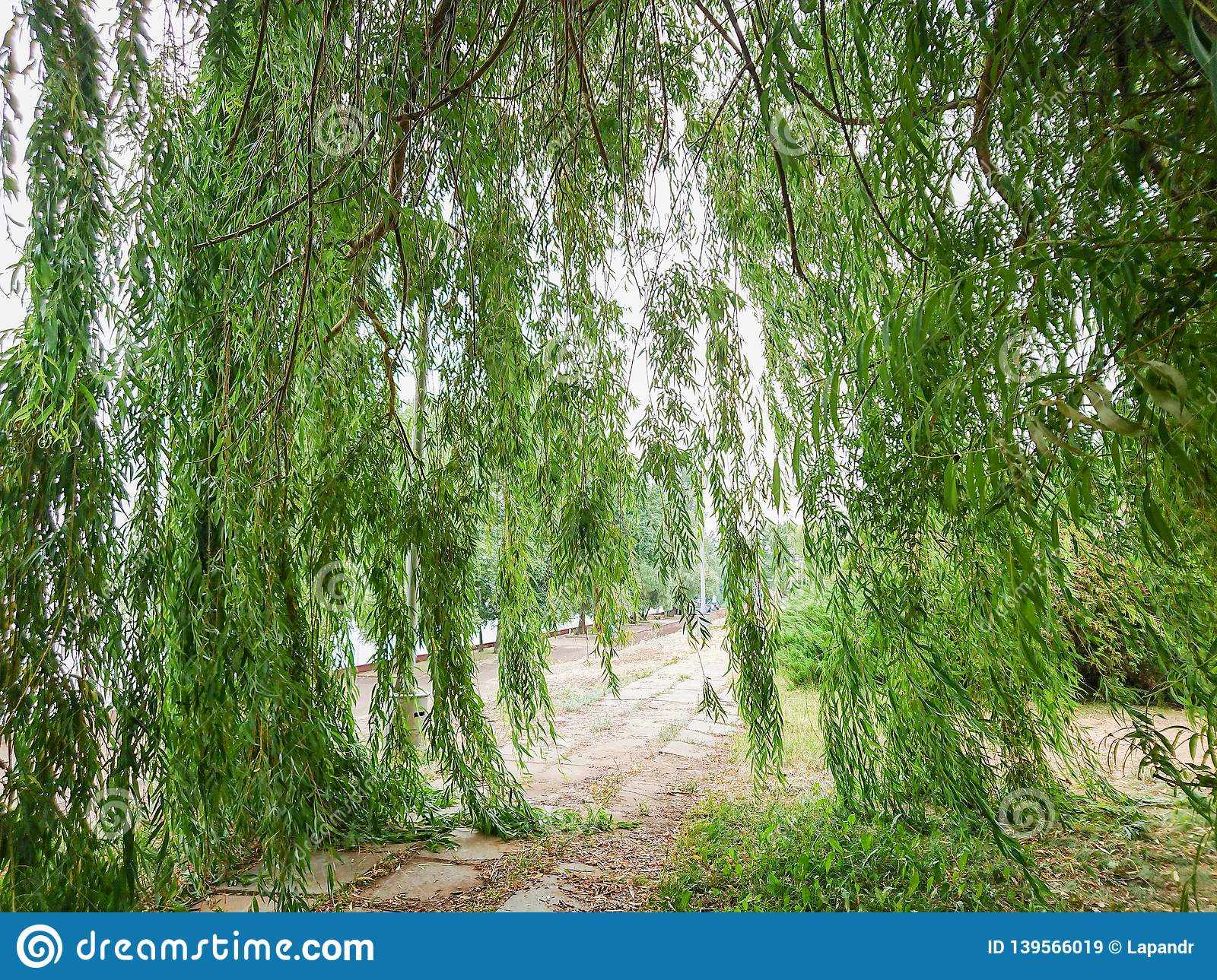 The branches of the willow tree go down to the ground. Green foliage on the tree. City park