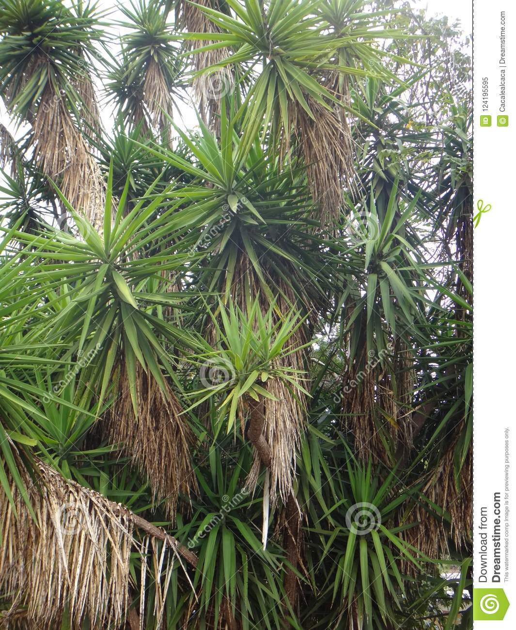 Branches of the yucca plant