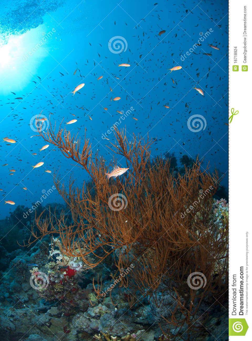 Branching black coral with a Longnose hawkfish.