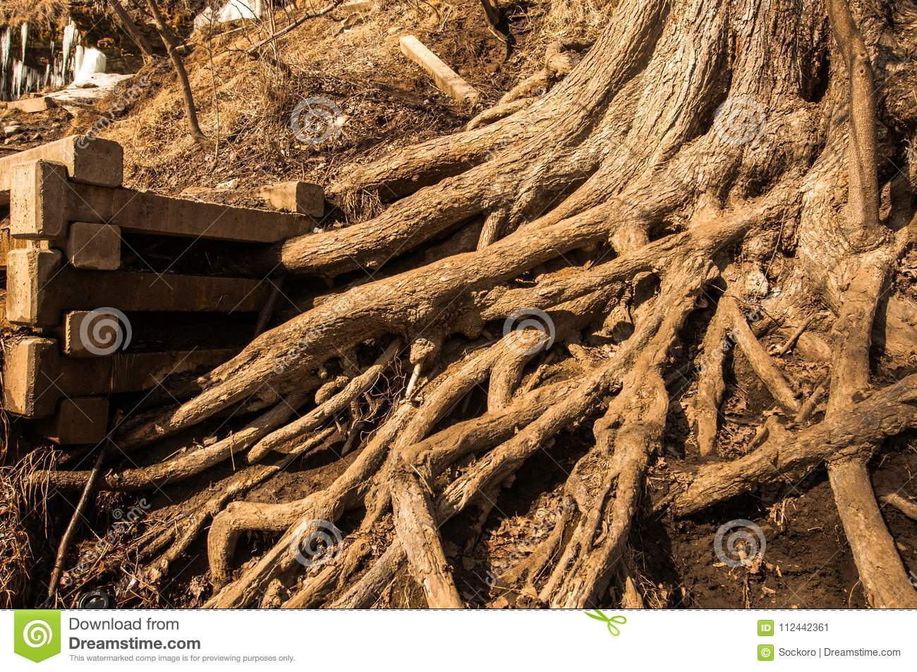 Branching of roots