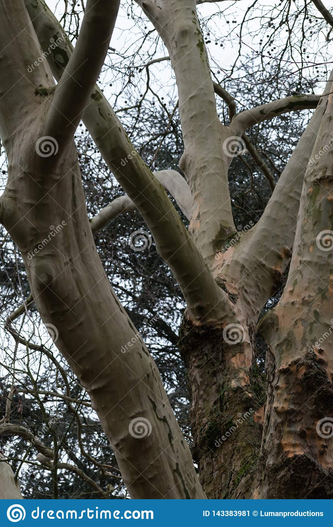 Branching tree in the park