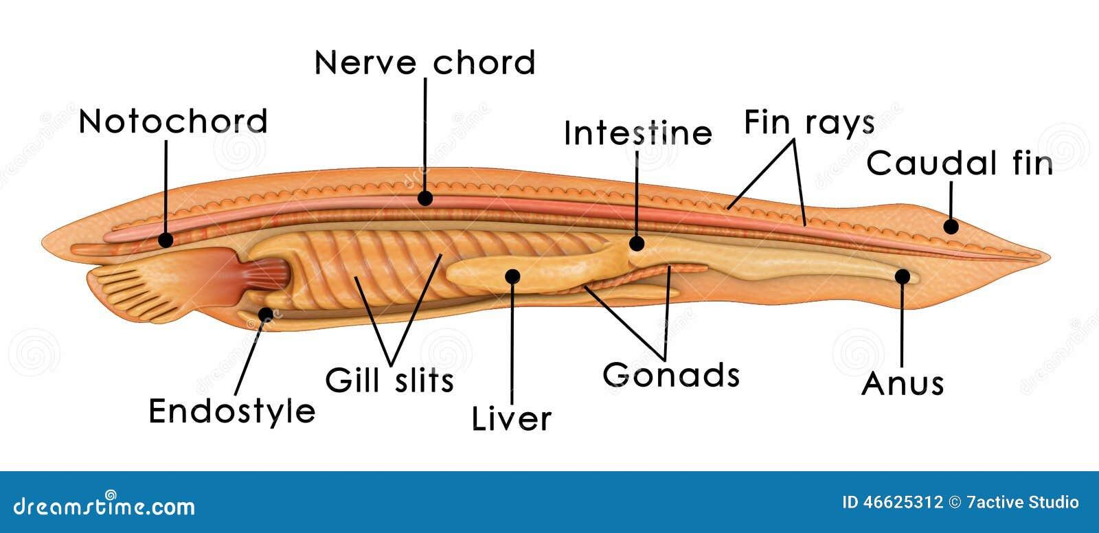 Tunicate anatomy branchial basket