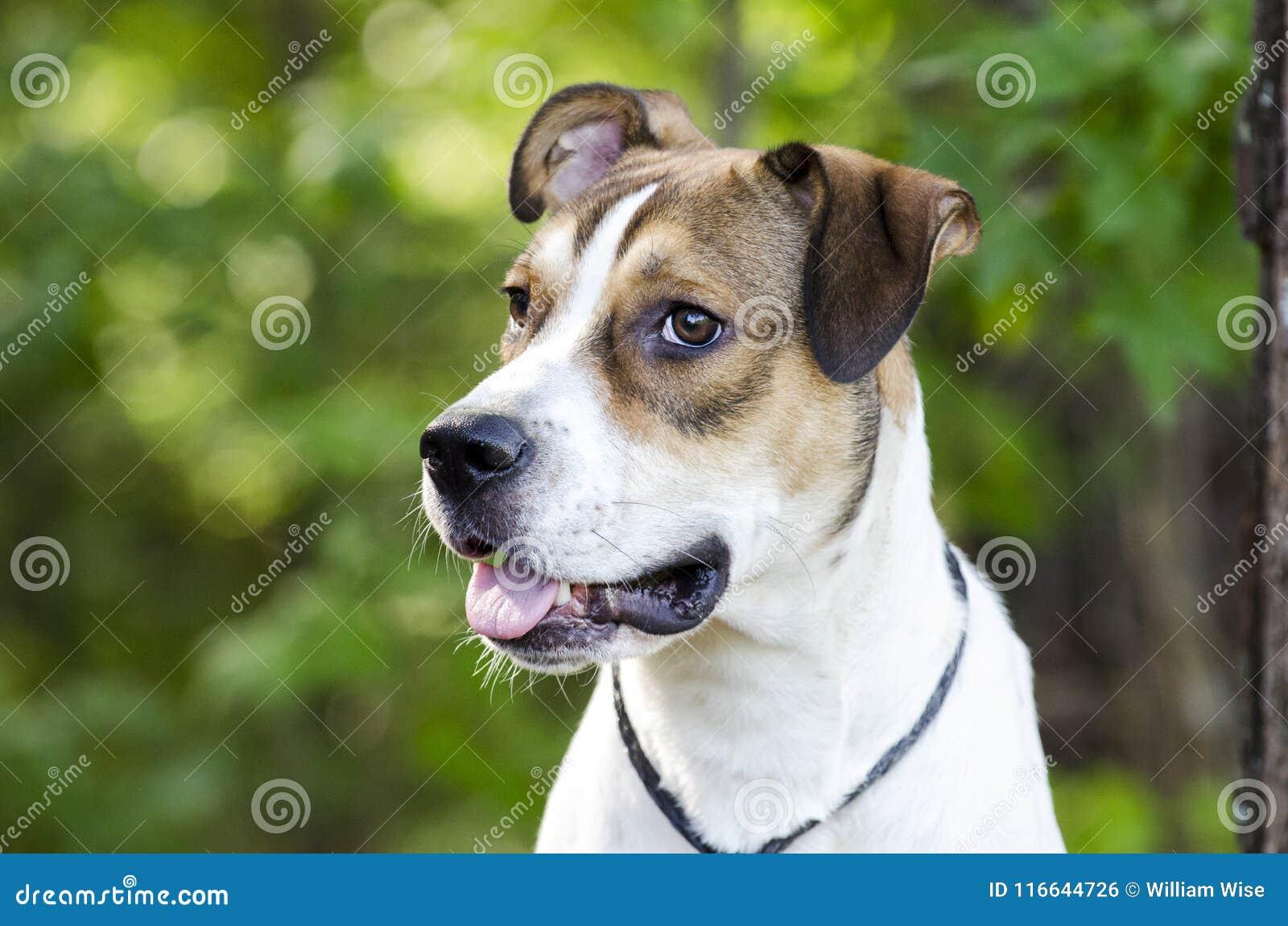 Branco e cão de cachorrinho misturado bronzeado da raça, foto da adoção do animal de estimação do abrigo animal