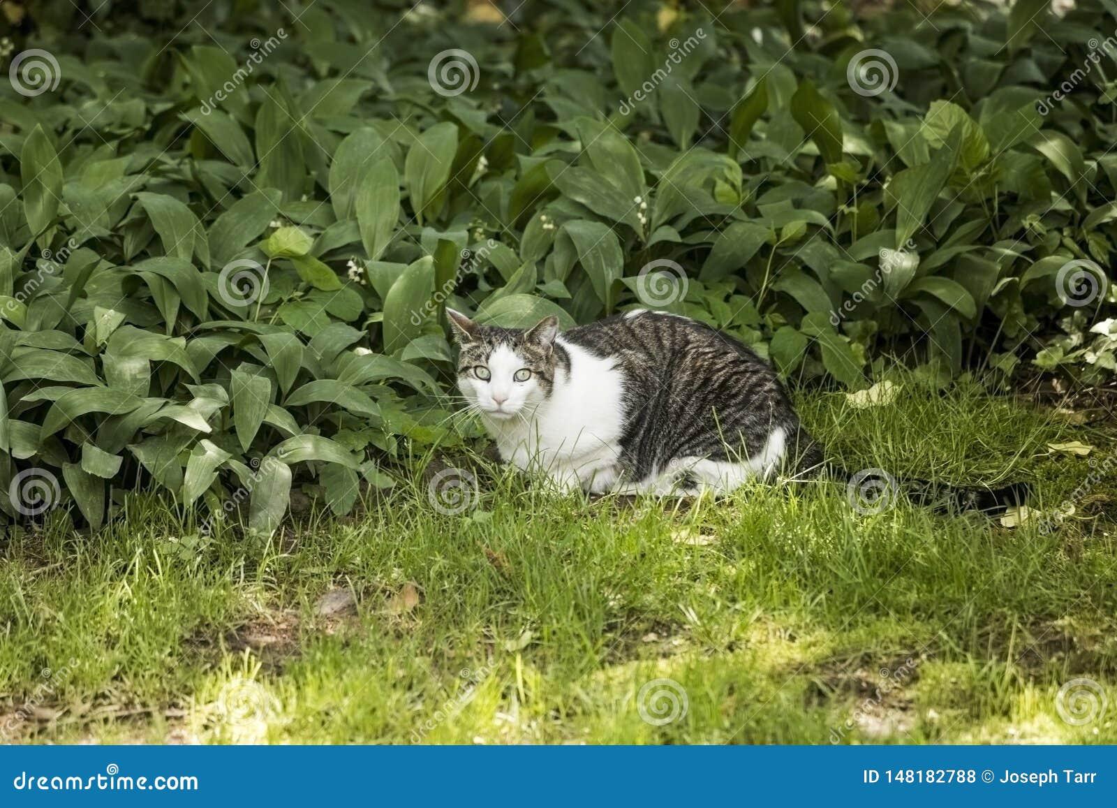 Branco e Gray Cat Peering na c?mera ao sentar-se na grama verde