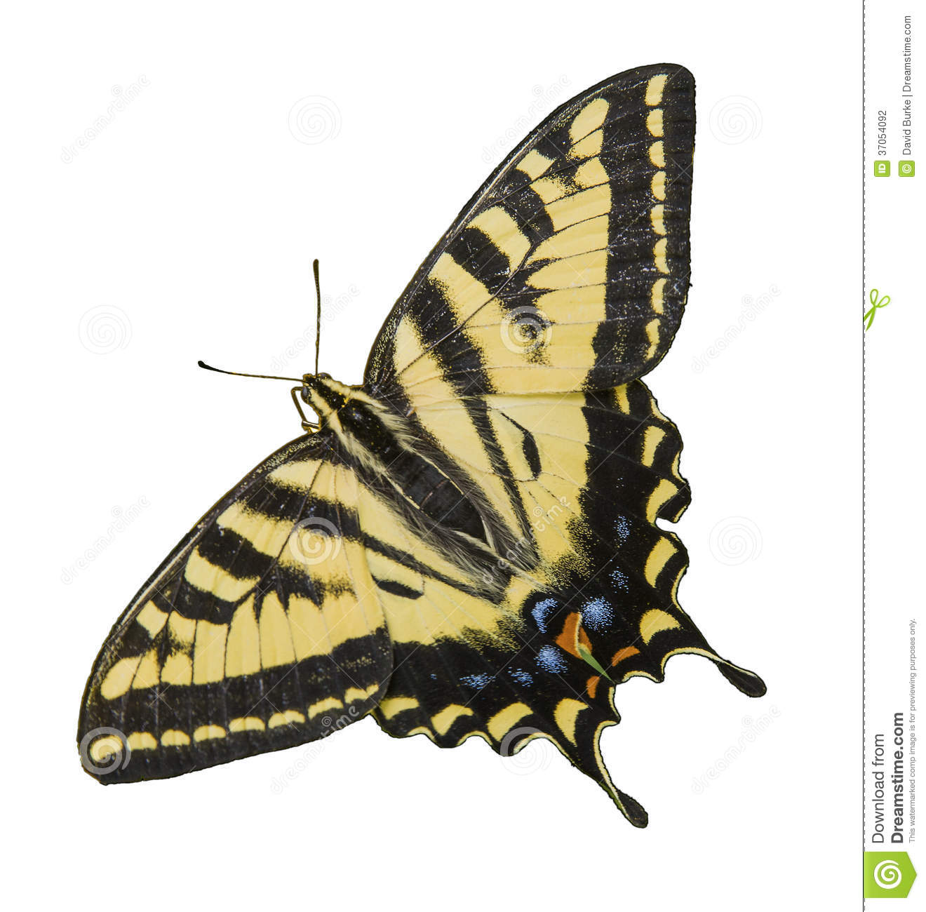 Branco isolado Tiger Swallowtail Butterfly ocidental