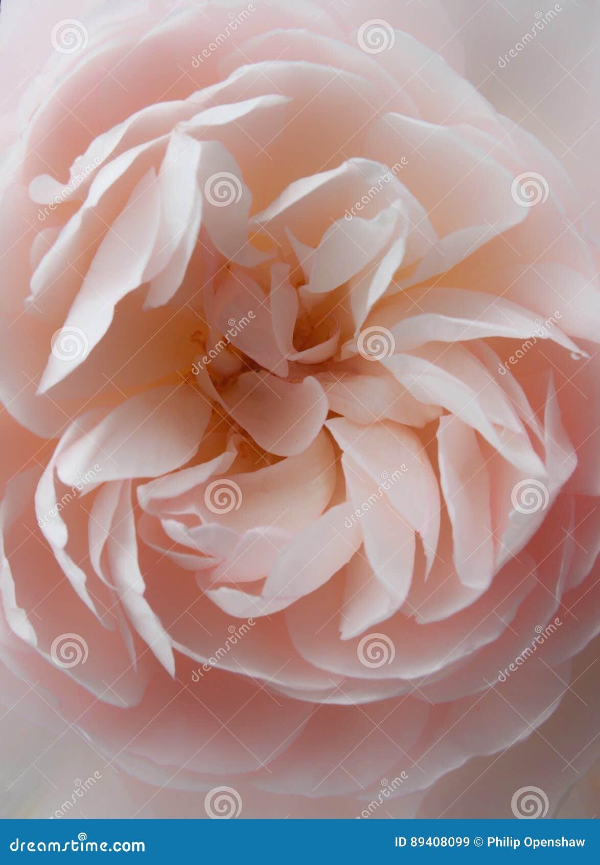 Brandamente fim da rosa do rosa acima