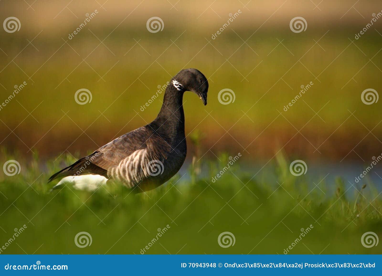Brant ή χήνα του Brent, bernicla Branta, γραπτό πουλί στο νερό, ζώο στο βιότοπο χλόης φύσης, Γαλλία