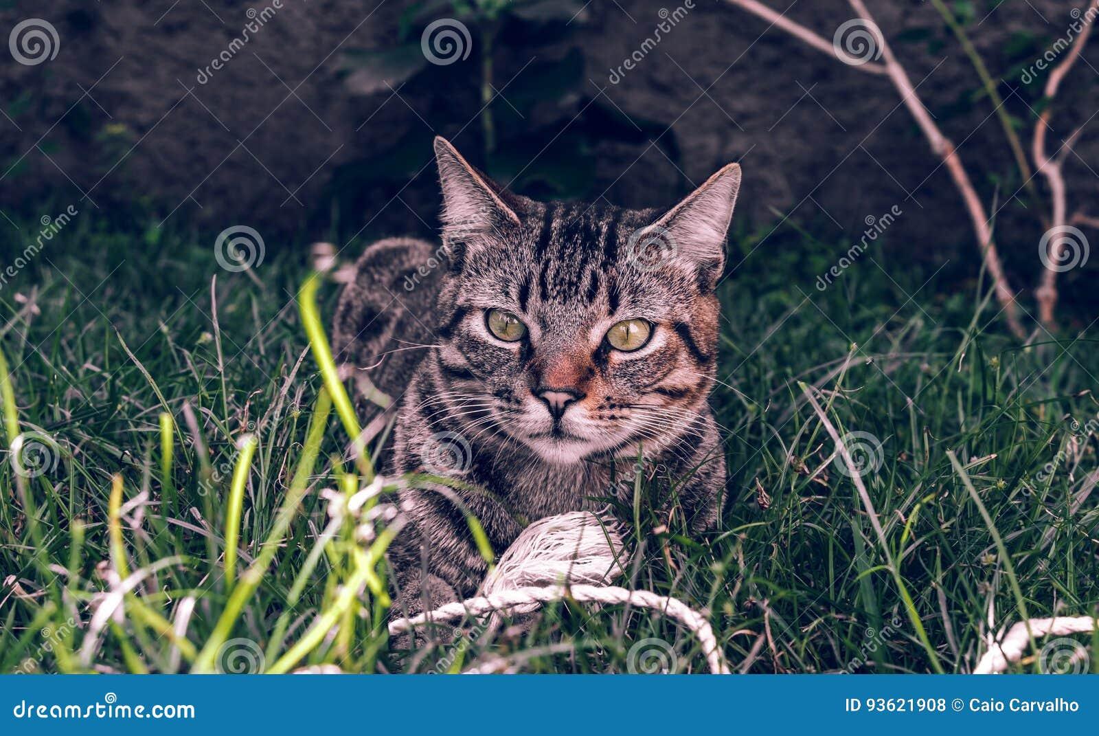 Brasileiro Shorthair Cat Holding seu brinquedo favorito do cabo na grama