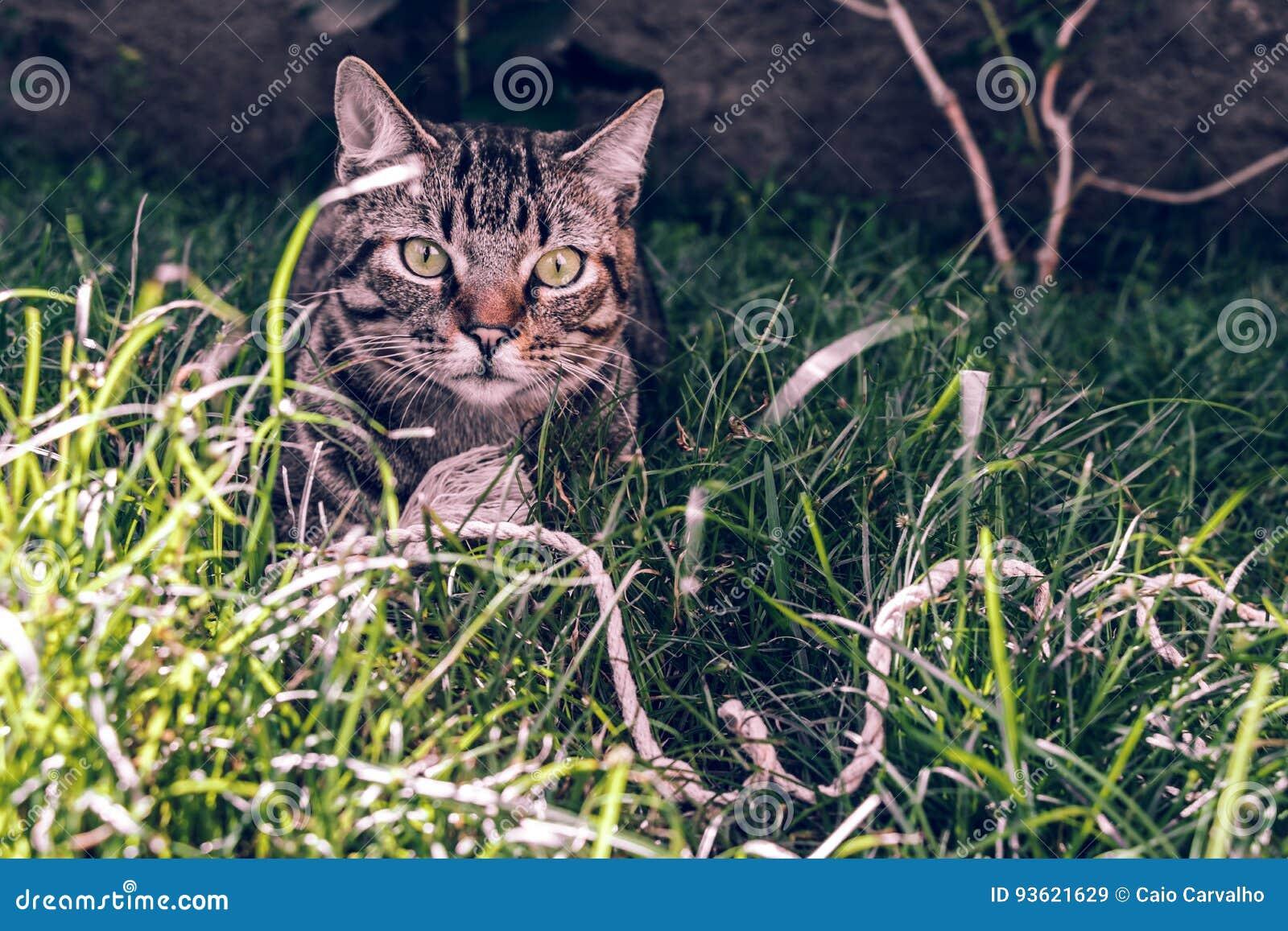 Brasilian Shorthair Cat Holding hans favorit- kabelleksak på gräset
