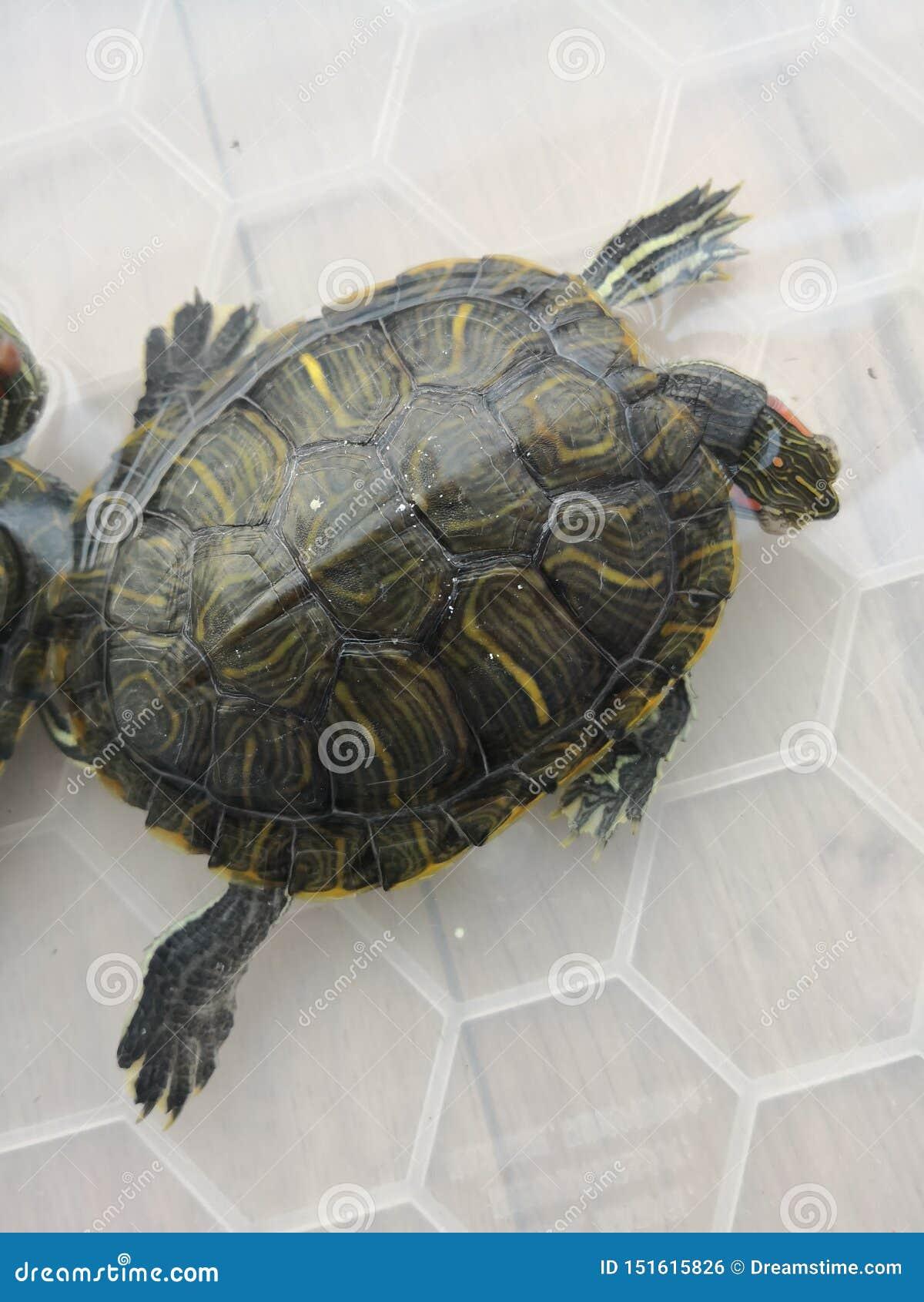 Brasilianische Schildkröte merkwürdigen Schlafens