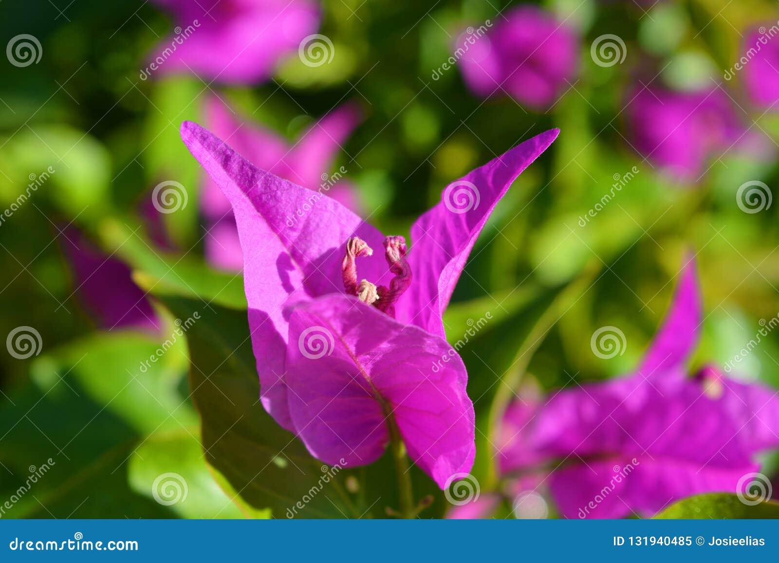 Brattee rosa vibranti di una pianta della buganvillea