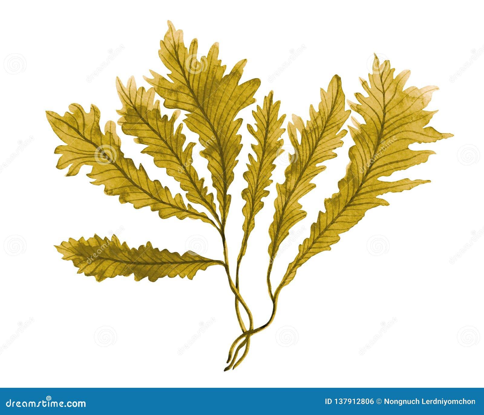 Braunalge, Kelp im Ozean, handgemaltes Element des Aquarells lokalisiert auf weißem Hintergrund Aquarellbraunalge illustrat