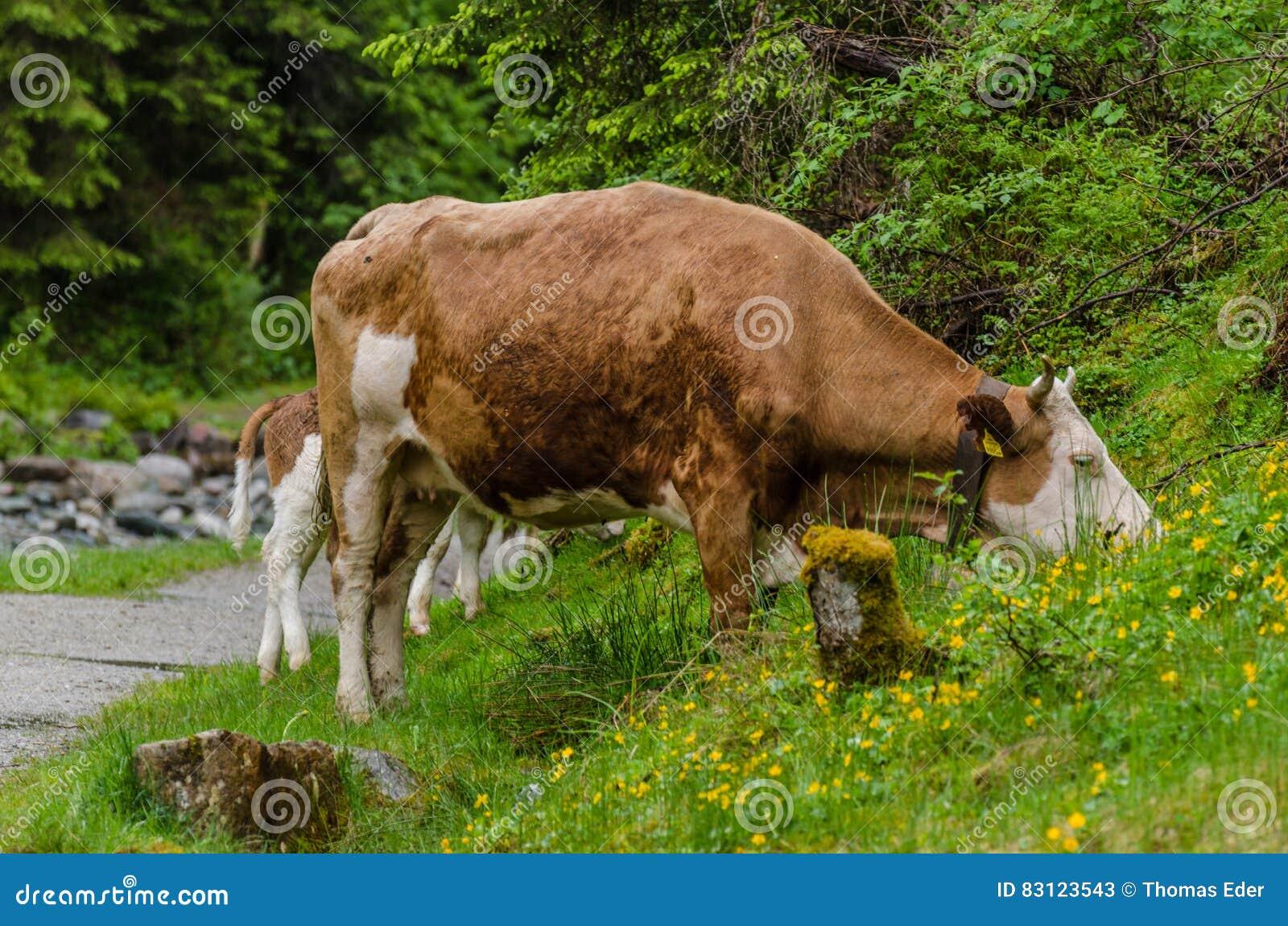 Braune Weihnachtskekse.Braune Kuh Beim Essen Stockbild Bild Von Milch Inländisch 83123543