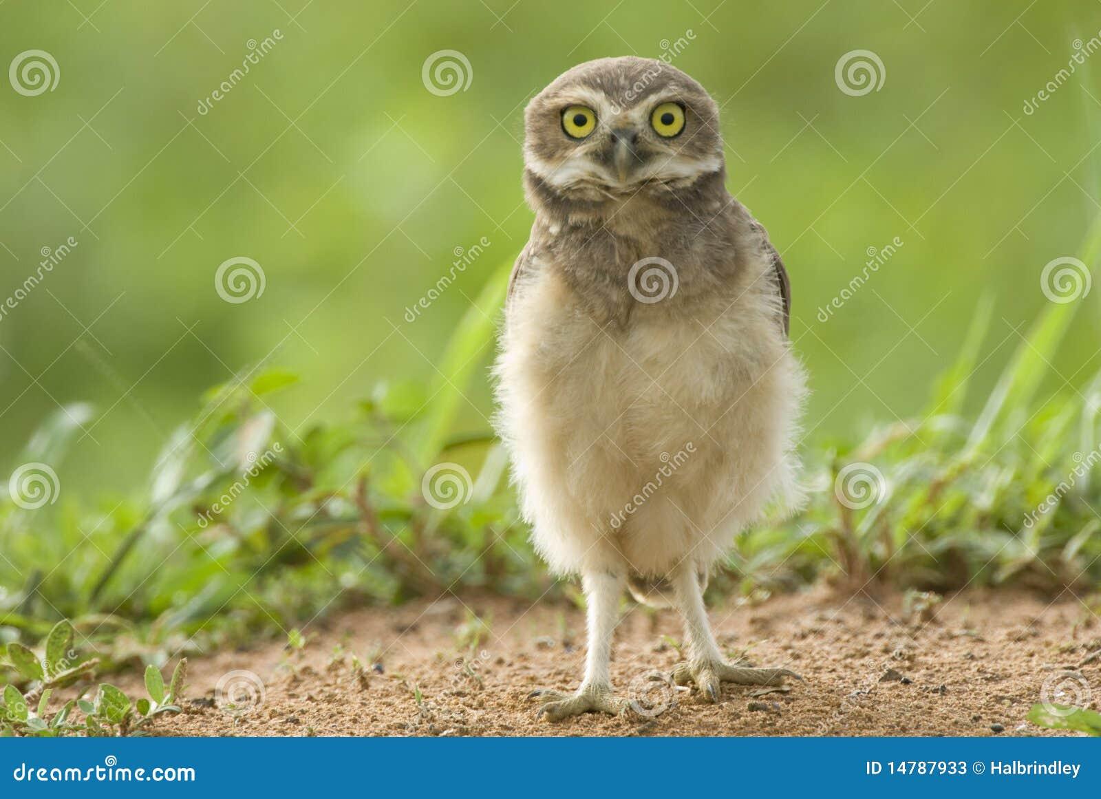 Brazil gräva owlbarn