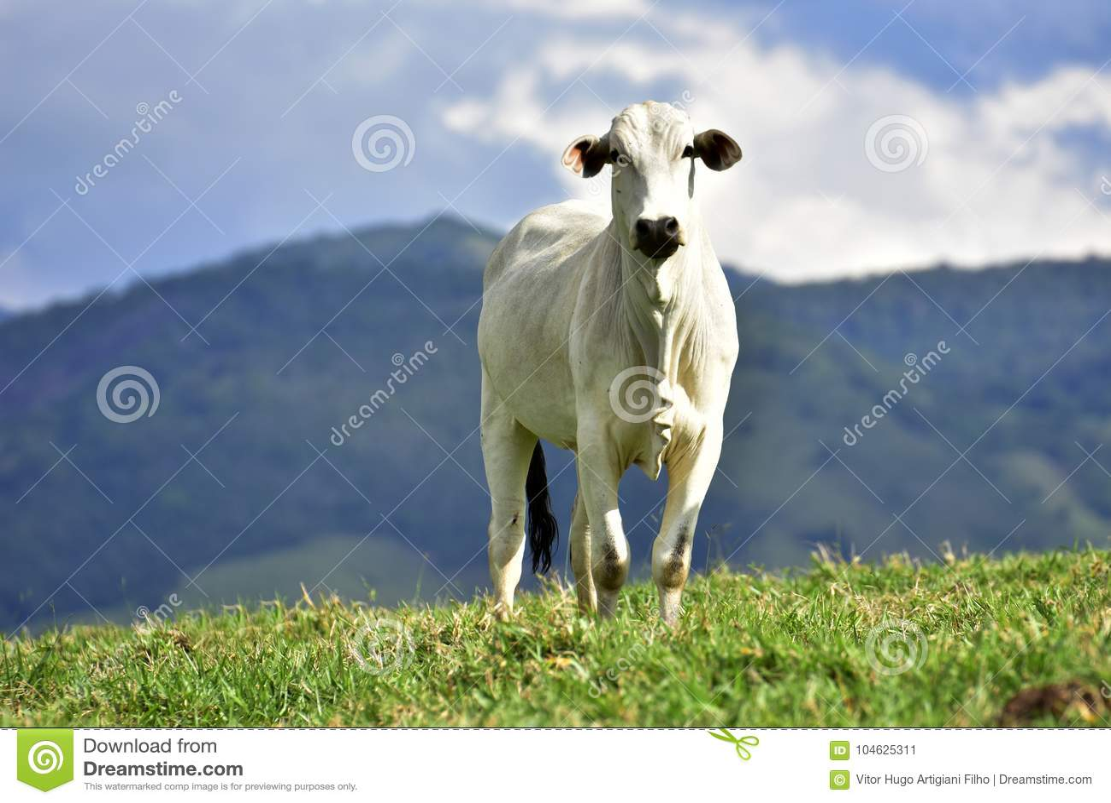 Download Braziliaans Vlees, Zeboeras Het Groeien Op De Gebieden Stock Afbeelding - Afbeelding bestaande uit kwaliteit, genetisch: 104625311