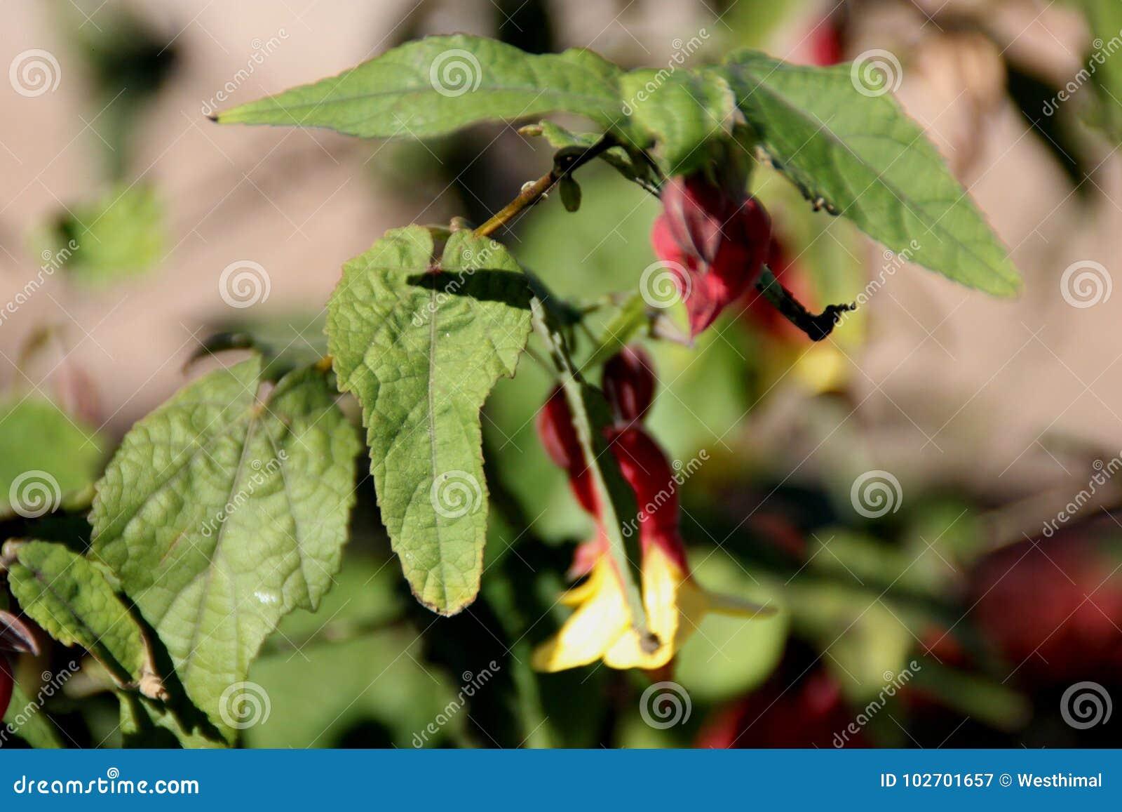 Brazilian Bellflower Trailing Abutilon Abutilon Megapotamicum