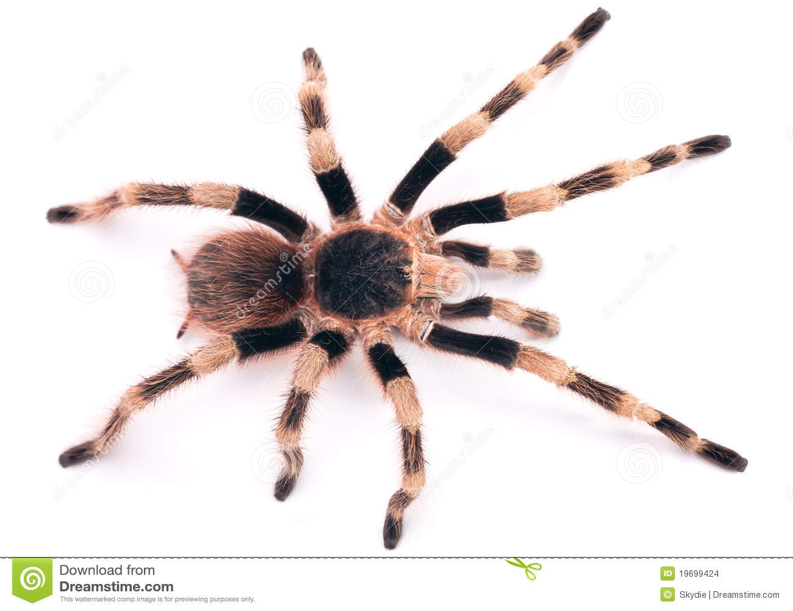 The Brazilian Black and White Tarantula (Nhandu coloratovillosus) is a ...
