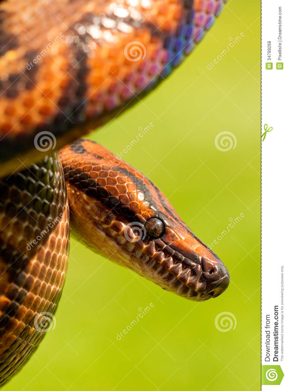 Brazilian Rainbow Boa Snake on a green background Brazilian Rainbow Snake