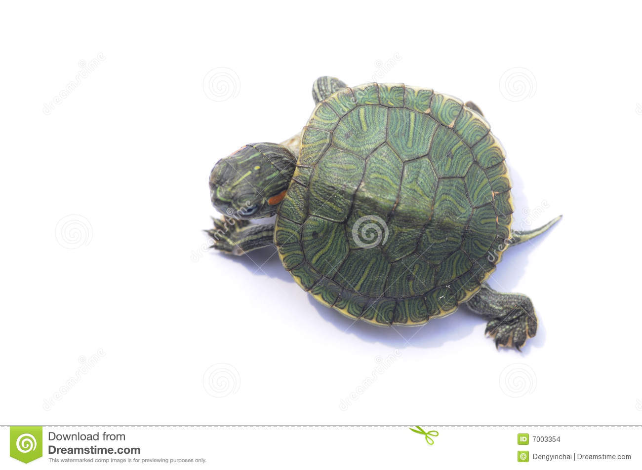 The Brazilian Turtle Stock Images Image 7003354