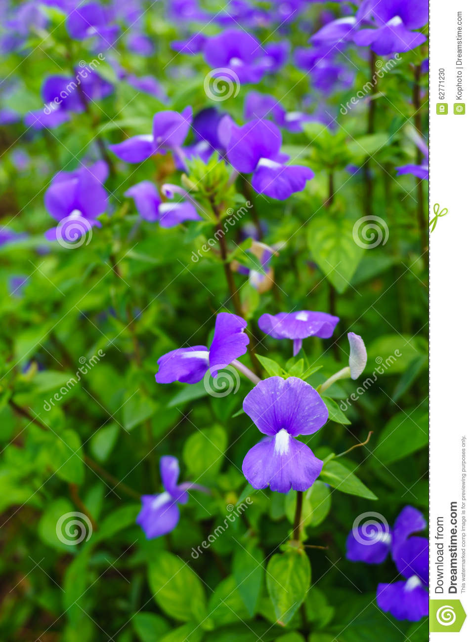Brazilina Snapdragon Blue Hawaii Flower Stock Photo Image Of