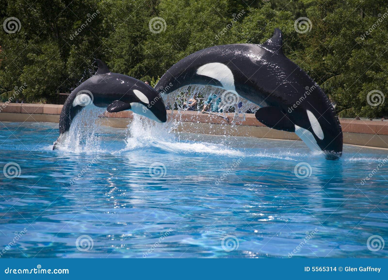 Breaching orca whales