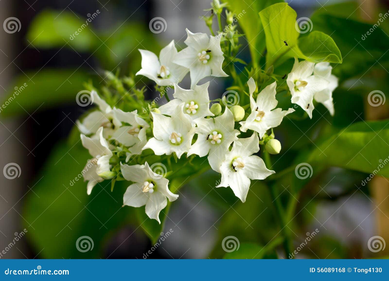 Bread Flower Vallaris Globra Ktze White Fragrant Aromatic Exo
