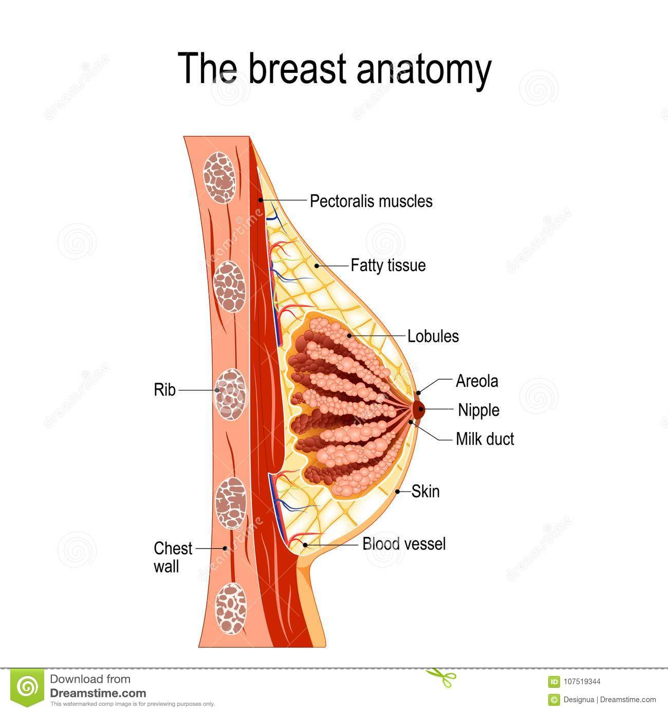 Breast Anatomy Cross Section Of The Mammary Gland Stock Vector