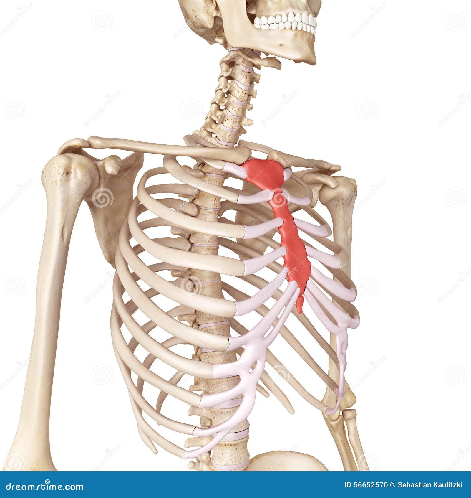 the breast bone stock illustration - image: 56652570, Cephalic Vein
