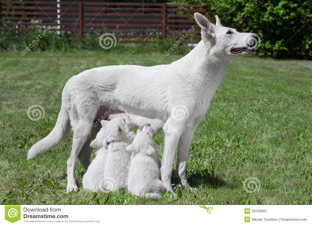 Breast Feeding Dog With Pups Stock Image - Image: 20195801