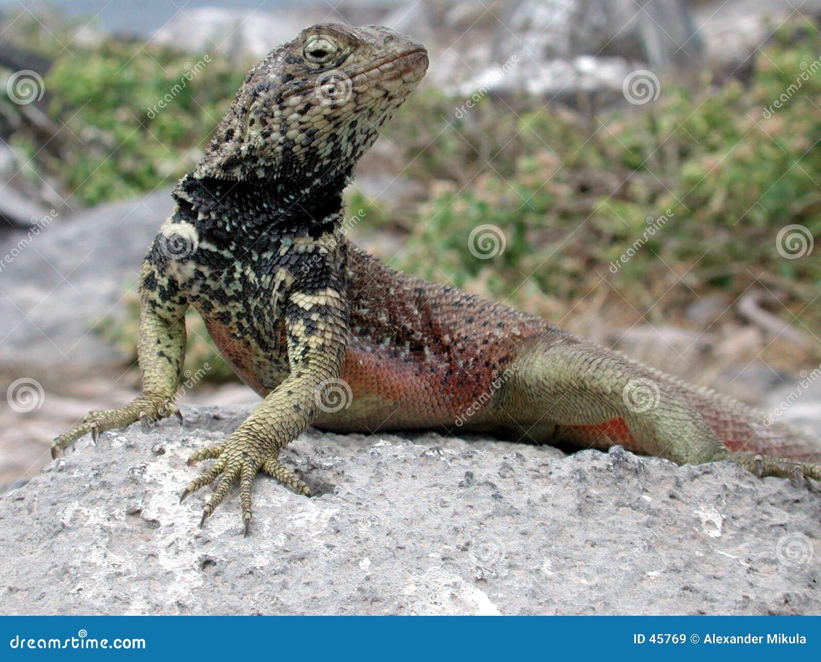 Breasted蜥蜴红色
