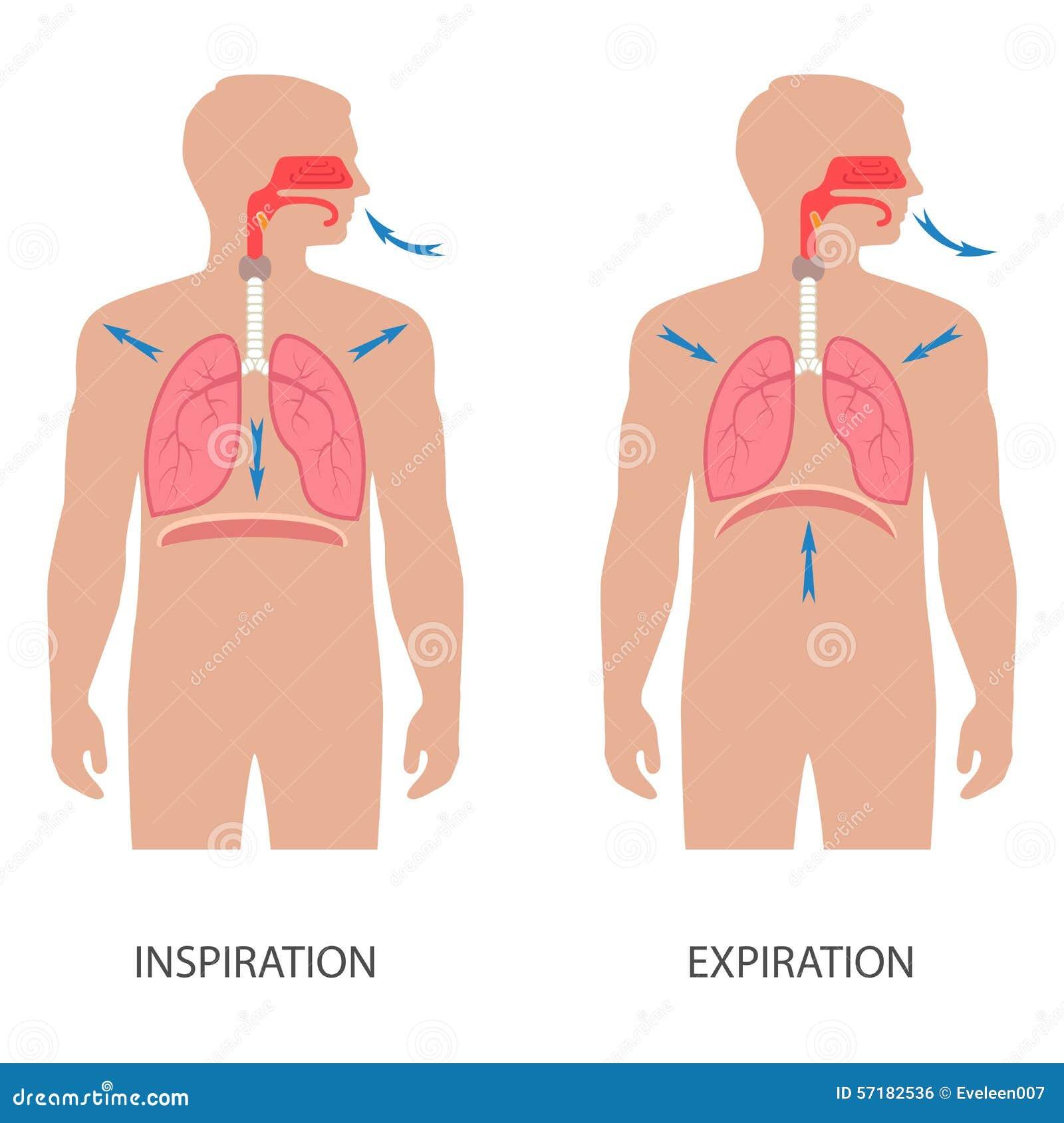 Breathing Human Diaphragm Stock Vector Illustration Of Inspiration