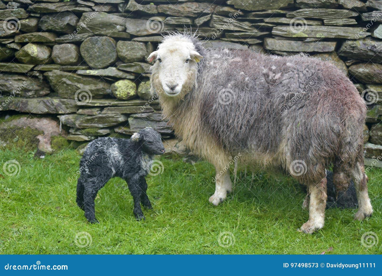 Brebis et agneau nouveau-né, Coniston
