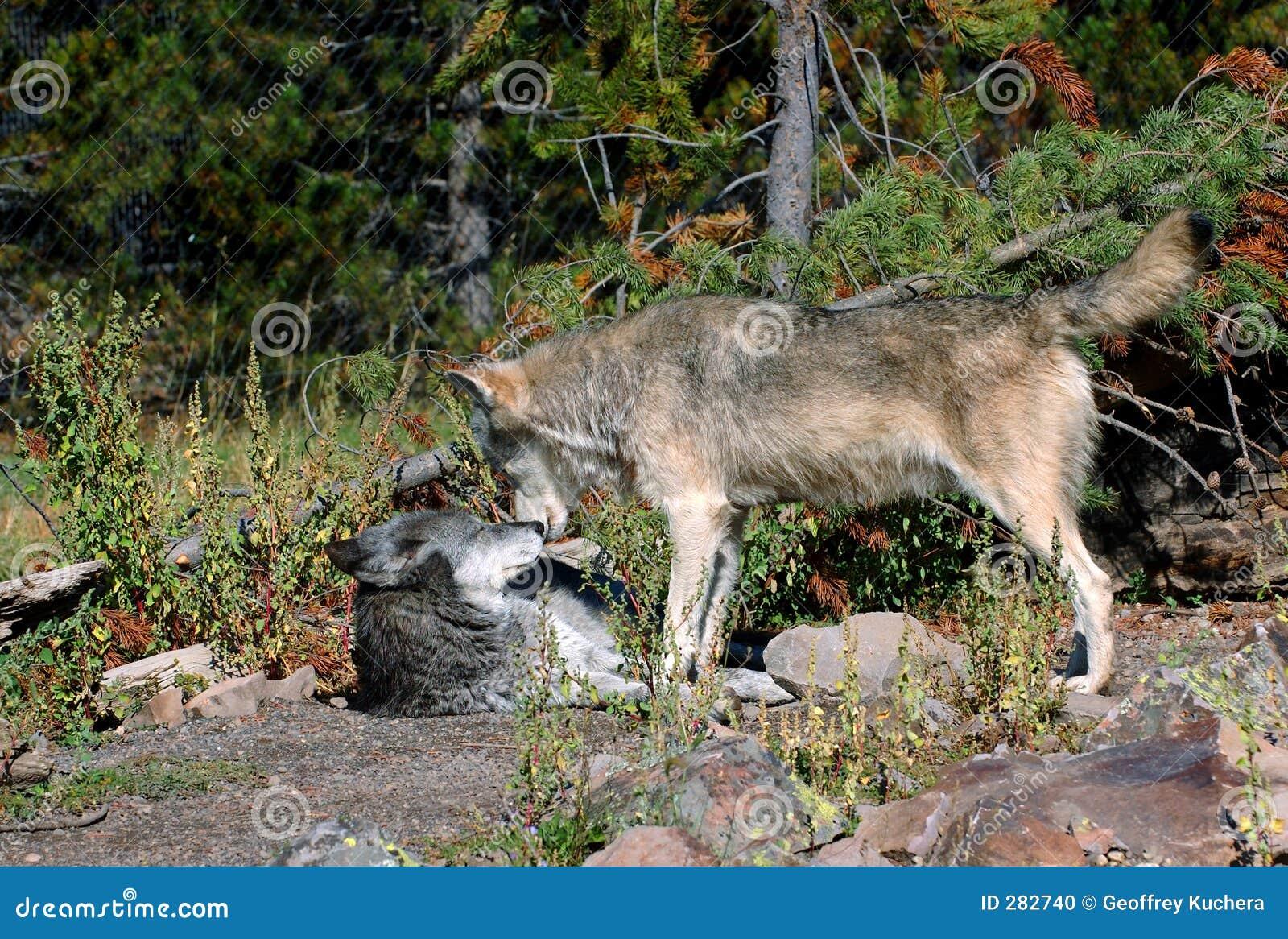Bred wolf för konfrontationtimmer